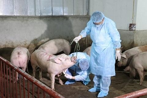 Trục lợi gần 500 triệu đồng tiền hỗ trợ dịch tả lợn châu Phi